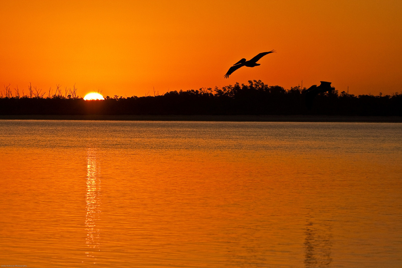 Sunrise Brown Pelican