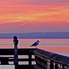 Seagull taking in the sunrise - 80