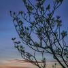 Dogwood Tree at Sunrise
