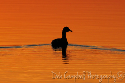 American Coot Silhouette