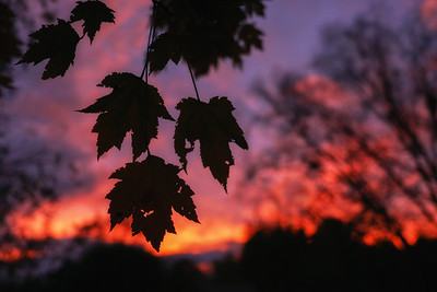Tattered Leaves at Sunset