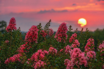 Crepe Myrtle at Sunset