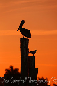 Pelican and Seagull at sunset Ft. Myers, Florida