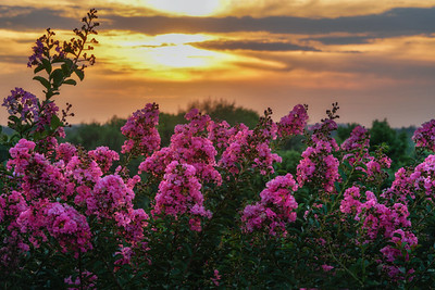 Crepe Myrtle Sunset