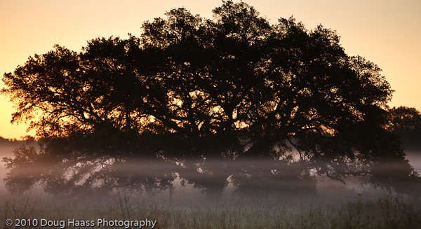 Great oak in sunrise fog