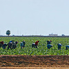 Migrant workers in a large vegtable farm
