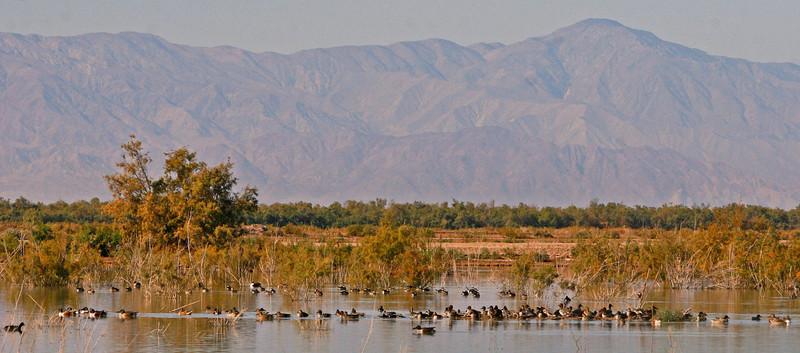 A gathering of Shoveler ducks