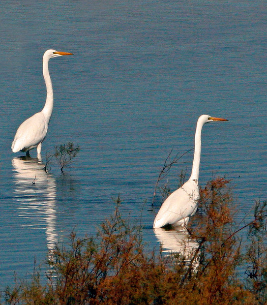 Two Great Egrets