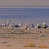 White pelicans cleaning and preening