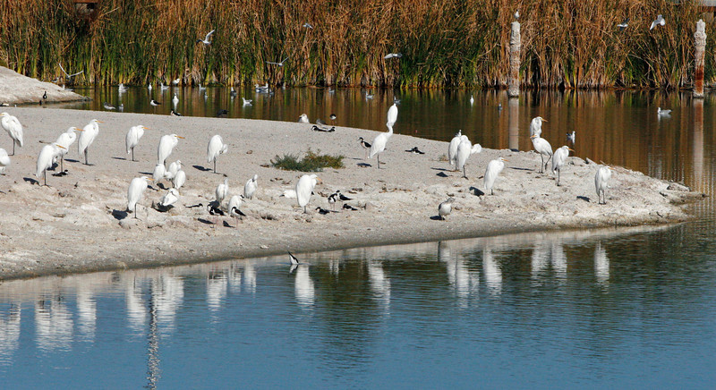 Cattle egrets gathered on the beach