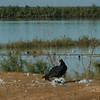 A turkey vulture lunches on a dead sea bird