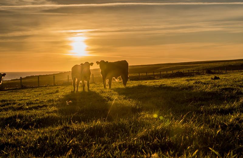Backaras calves silhouettes. September 15