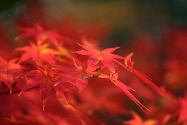 Japanese maple bathed in the light of a setting sun.