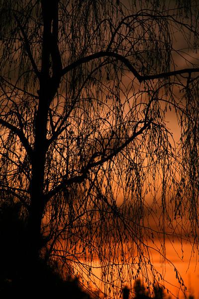 The Neighbor's Tree - Camarillo, CA