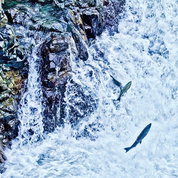 Salmon Run