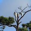 Woodstorks share a perch with the local Osprey