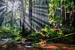 """Rays Through Redwoods"" was captured in Butano State Park near Pescadero, California.  It was NOT the golden hour - quite the opposite! I captured this at 2 in the afternoon but with the fog beginning to lift, I noticed the sun streaming through the Redwoods creating those ""God Beams"" I love to chase!   I found this little stream with the redwood bark laying around.  I captured this with multiple exposures that I blended together.  As with all my favorite images, this is the place I want to be on a Friday afternoon.  Fine Art Images for Collectors, Healthcare and Corporations. Perfect for Executive Briefing Centers.  This image looks amazing on Metal, HD Acrylic Flex or a Gicleé Gallery-wrap canvas up to 40"" x 60"" or larger!"