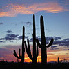 The three Saguaros at sunset, Sept 5, 2012, Tucson AZ