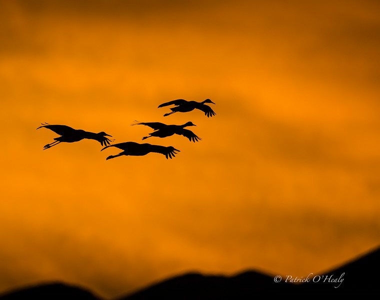 These Sandhill Cranes were wonderfully back-lit by the setting sun.