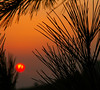 Sunset Behind Pines