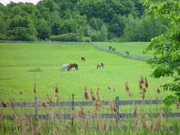 Ripe wild herb,wooden fence,green grass,horses and green trees:a bucolic scene RIGAUD,QUEBEC L' herbe sauvage arrivée a maturité,une clôture en bois,le gazon vert,les chevaux et les arbres: une belle scène champêtre.