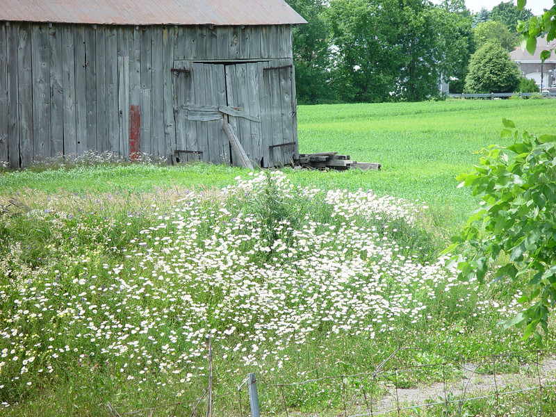 Wild daisies and a wooden barn,last vestiges under siege,by the urban sprawling.  BOISBRIAND,QUEBEC