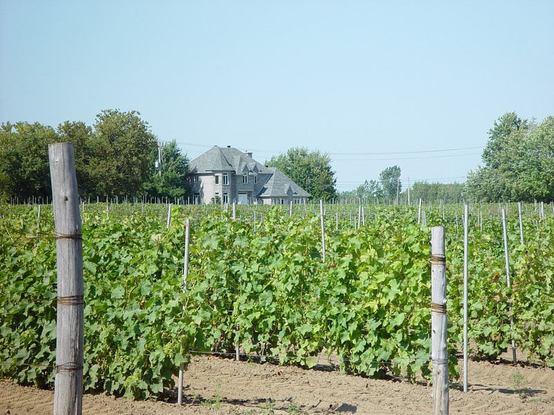 Vineyard, belonging to Chateau Taillefer-Lafon, in Laval, Quebec