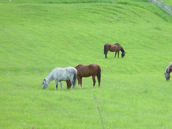 Horses grazing on green grass RIGAUD,QUEBEC Chevaux en pâturage