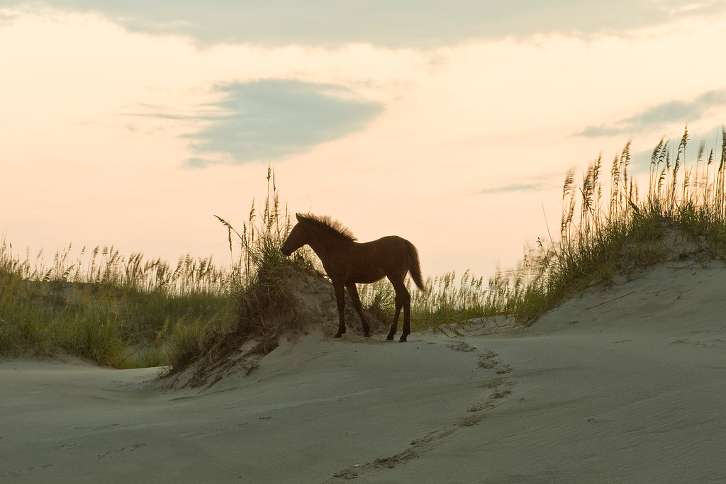 A young colt plays on a sand dune.