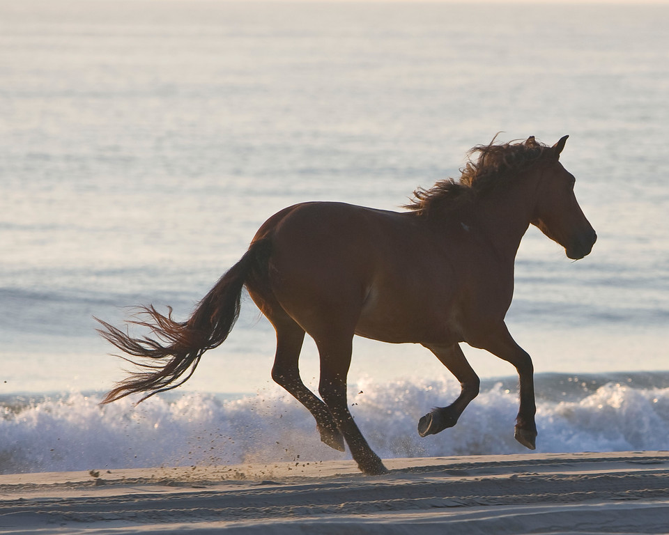 A colt gallops along the beach in the early morning after coming off the dunes. This colt is one of the wild Spanish Mustangs of the northern Outer Banks.