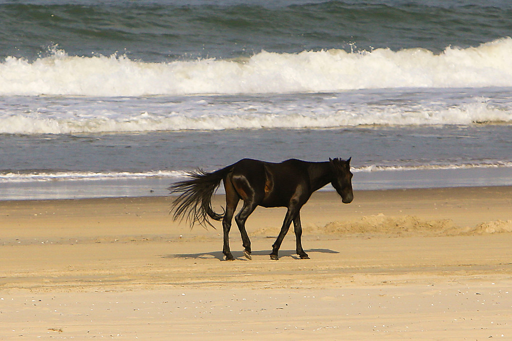 Another view of the wild horse sauntering down the beach near the Currituck Wildlife Refuge.
