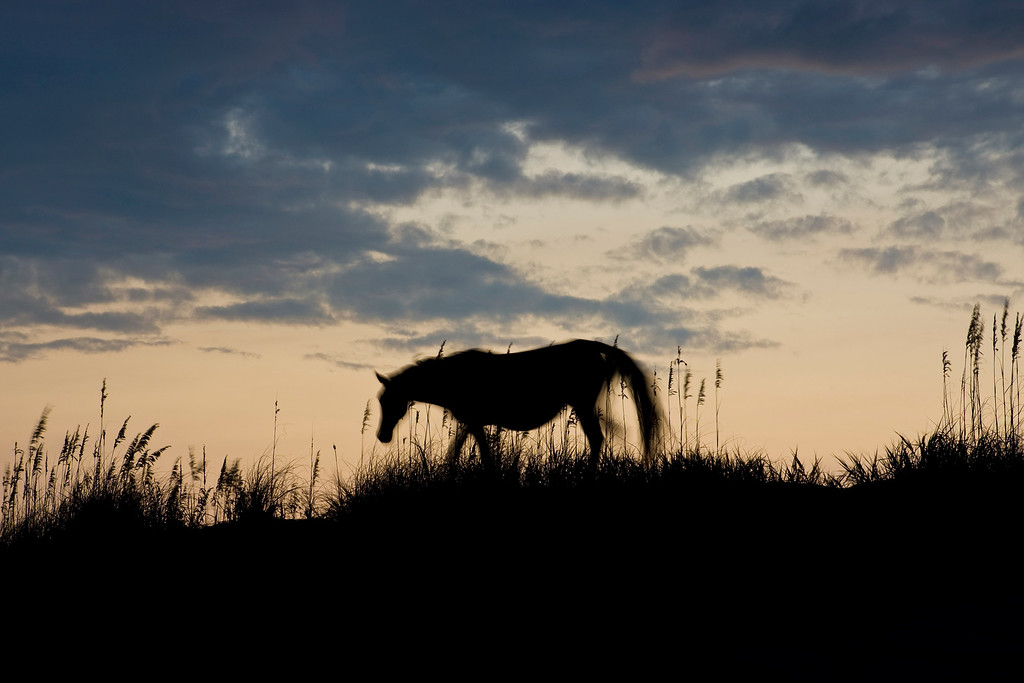 A wild horse grazes on top of the primary dune near sunset.