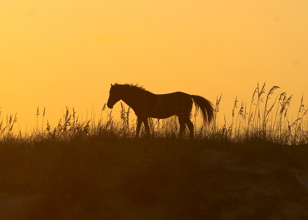 A wild Spanish Mustang is silhouetted against the orange sunset along Swan Beach.
