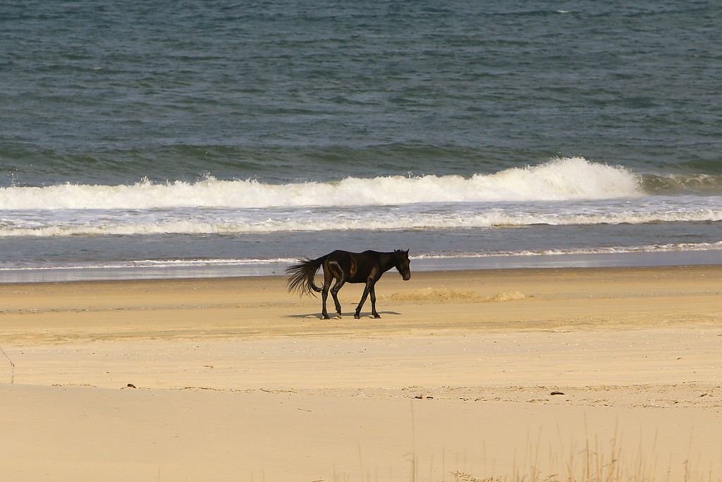 A wild horse saunters down the beach in the late afternoon along Swan Beach near the Currituck Wildlife Refuge.