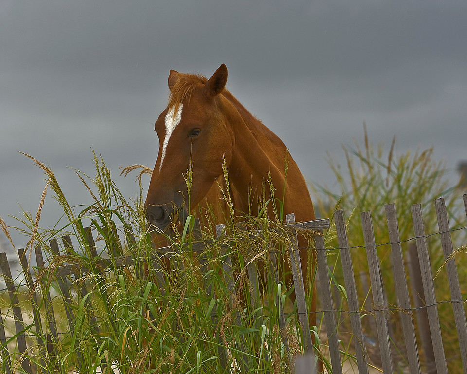 A mare eats sea oats in front of our house in the early evening.