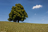 Linden tree, Ramisberg, Emmenthal