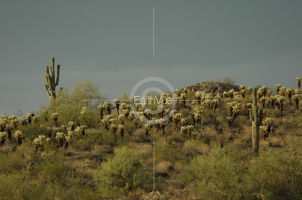 SAGUAROS AND  CHOLLAS - ARIZONA