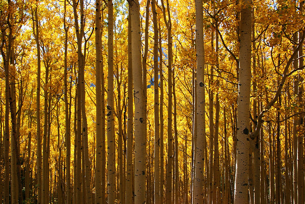 Golden aspens, Ski Apache, NM