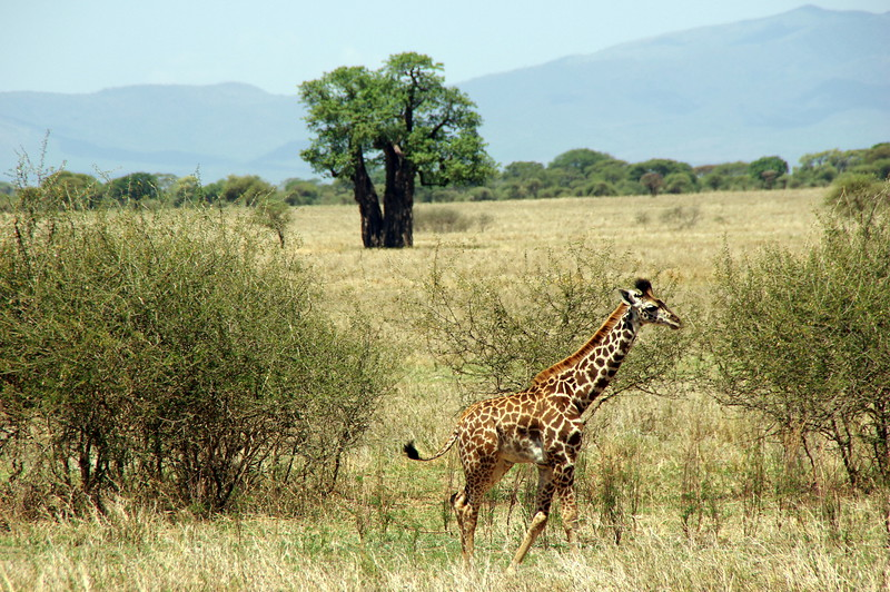 Baby Giraffe and Baob Tree - most common in Tarangire
