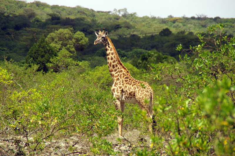 Giraffe on the way to the first hut of Mount Meru