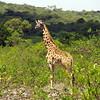 Giraffe on the way to the first hut of Mount Meru