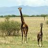 Giraffes in Tarangire