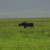 Rare to see - a rhino in Ngorongoro crater