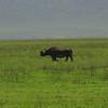 Rare to see - a rhino in Ngorongoro crater
