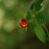The most famous flower at Kilimanjaro - impatiens kilimanjari