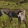 Zebras in Arusha Nationalpark