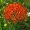 Fireball Lily