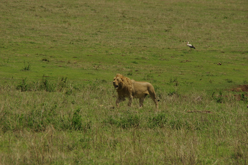 A lion inside the Ngorongoro Crater
