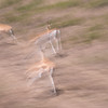 Thompson Gazelles on the move...I intentionally used a slow shutter speed to create an image that shows movement. I wanted to convey the feeling and sense of these gazelles as they darted across the plains.