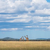Curious Giraffes on the savanna plains of the Serengeti. As a landscape photographer I worked hard to capture the wildlife of Africa in their habitat. Once again a beautiful layer of clouds add an interesting element and color contrast to the tall golden grasses of the Serengeti. I have many close up and personal images of giraffes, but this one places me back in Tanzania, enveloping all my senses as I viewed this family of curious giraffes.